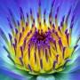 Marvellous_Blue-Violet_Lillie_Close-up